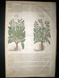 Gerards Herbal 1633 Hand Col Botanical Print. Small & Great Sage